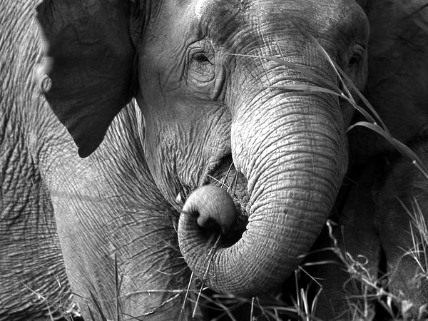 Elahorcamiento de Mary, la Elefanta Asesina