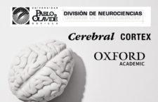 Estudio realizado por la División de Neurociencias Universidad Pablo de Olavide y publicado en la revista Cerebral Cortex, Oxford Academic.
